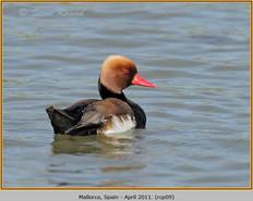 red-crested-pochard-09.jpg