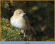 grasshopper-warbler-59.jpg