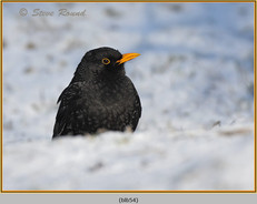 blackbird-54.jpg