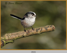 long-tailed-tit-60.jpg