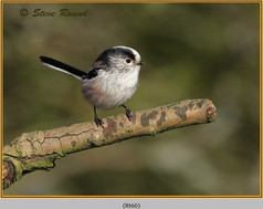 long-tailed-tit-60.jpg
