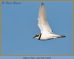 little-ringed-plover-26.jpg