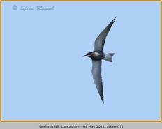 black-tern-01.jpg