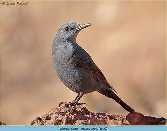 Blue rock thrush, Monticola solitarius perched on log