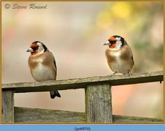 goldfinch-70.jpg