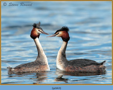 great-crested-grebe-63.jpg