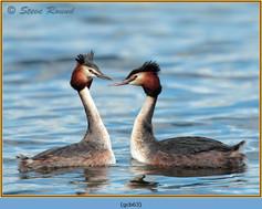 great-crested-grebe-63.jpg