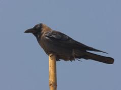 house-crow-05.jpg
