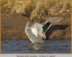 green-winged-teal-05.jpg