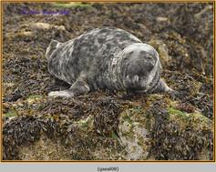 grey-seal-08.jpg