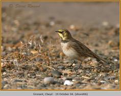 shore-lark-06.jpg