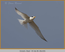 little-tern-04.jpg