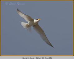 little-tern-04.jpg