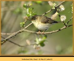 willow-warbler-12.jpg
