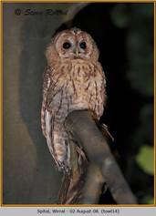 tawny-owl-14.jpg