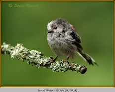 long-tailed-tit-34.jpg