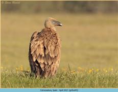 griffon-vulture-45.jpg