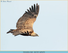 griffon-vulture-73.jpg