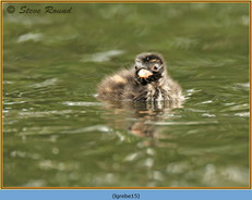 little-grebe-15.jpg
