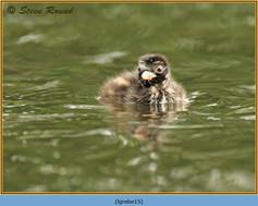 little-grebe-15.jpg