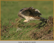 short-eared-owl-36.jpg