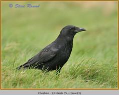 carrion-crow-13.jpg