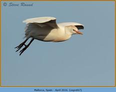 cattle-egret-67.jpg