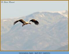 white-stork-31.jpg