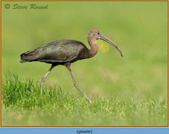 glossy-ibis-06.jpg