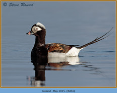 long-tailed-duck-34.jpg