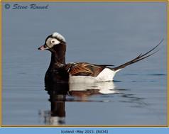 long-tailed-duck-34.jpg