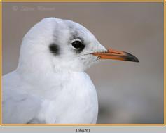 black-headed-gull-26.jpg