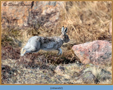 mountain-hare-02.jpg