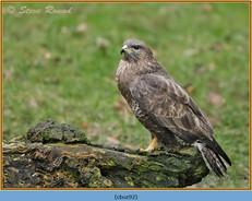 buzzard- 92.jpg