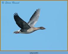 pink-footed-goose-82.jpg