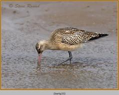 bar-tailed-godwit-33.jpg