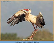 white-stork-40.jpg