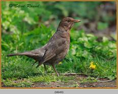 blackbird-49.jpg