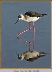 black-winged-stilt-35.jpg