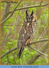 long-eared-owl-01.jpg
