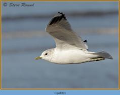 common-gull-30.jpg