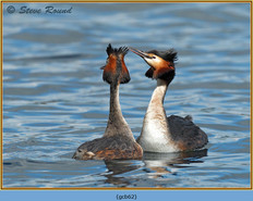 great-crested-grebe-62.jpg