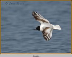 little-gull-11.jpg