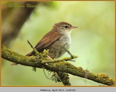 cettis-warbler-10.jpg