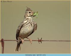 crested-lark-13.jpg