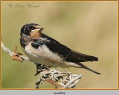 swallow-39.jpg