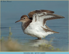 common-sandpiper-22.jpg