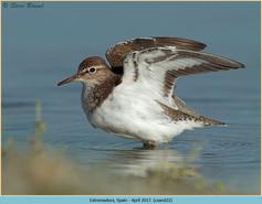 common-sandpiper-22.jpg