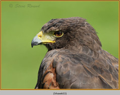 harris-hawk-03.jpg
