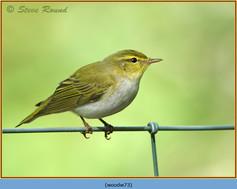 wood-warbler-73.jpg